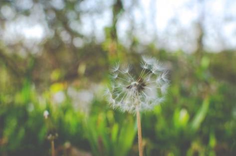 dandelion-flower-nature-1.jpg